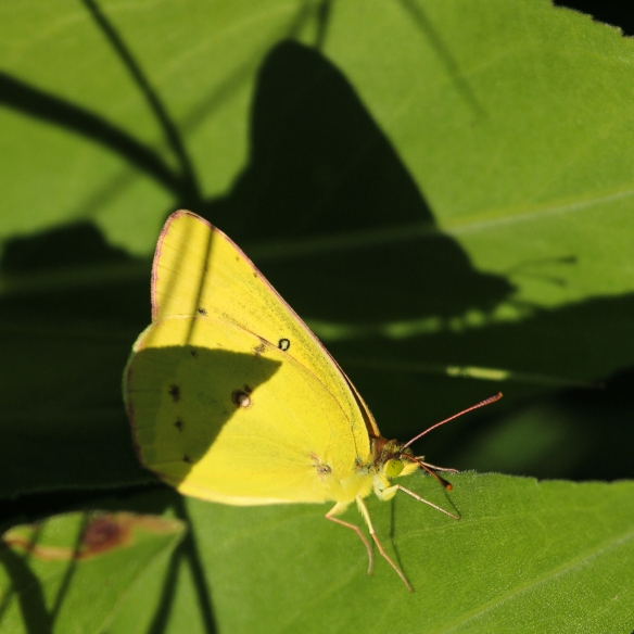 pink clouded sulfur butterfly-