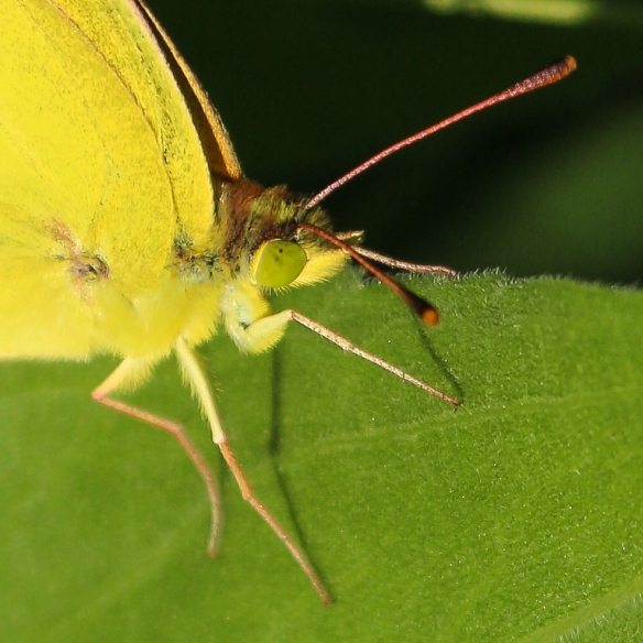 pink clouded sulfur butterfly-head-