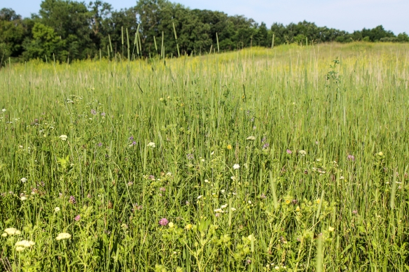 prairie-flowers at Lake Johanna Esker