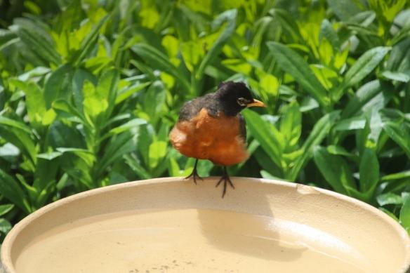 robin bathing-