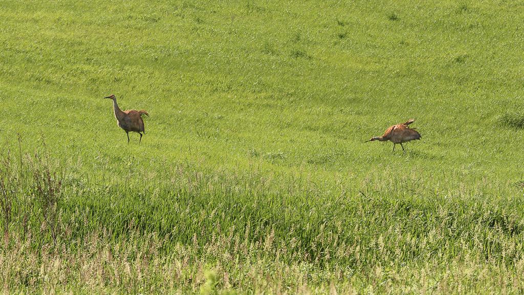 sandhill cranes-