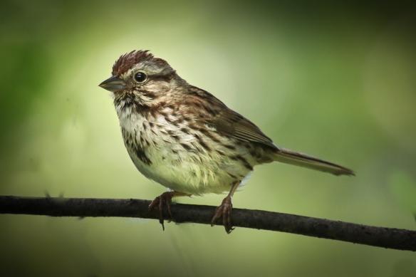 song sparrow-