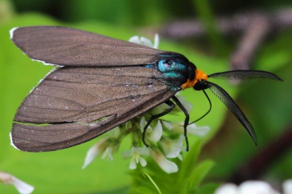virginia ctenucha moth-