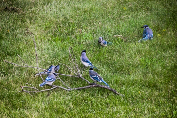 blue jay fledglings-