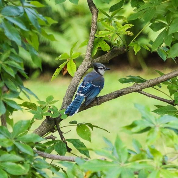 blue jay fledglings-