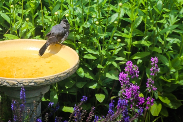 catbird-