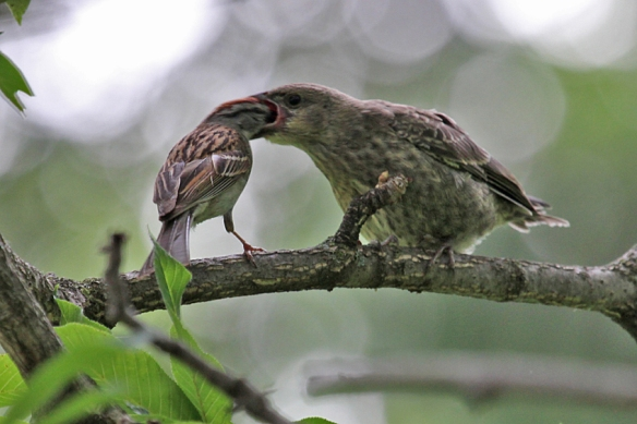 cowbird-chick-being-fed by Chipping Sparrow
