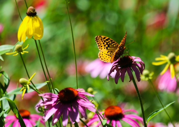 great spangled fritillary-