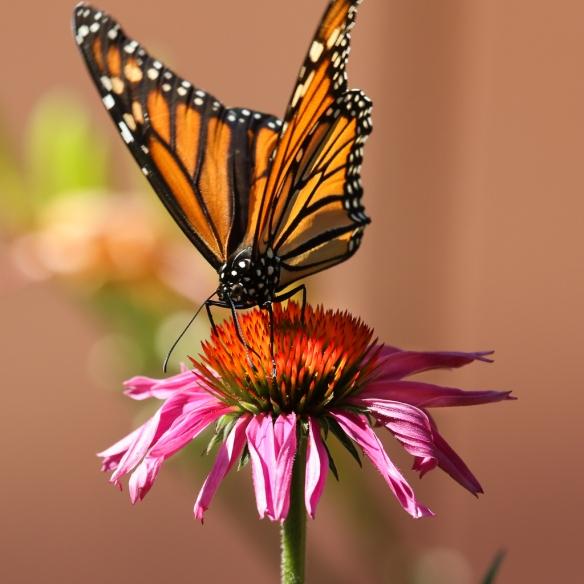 monarch butterfly-