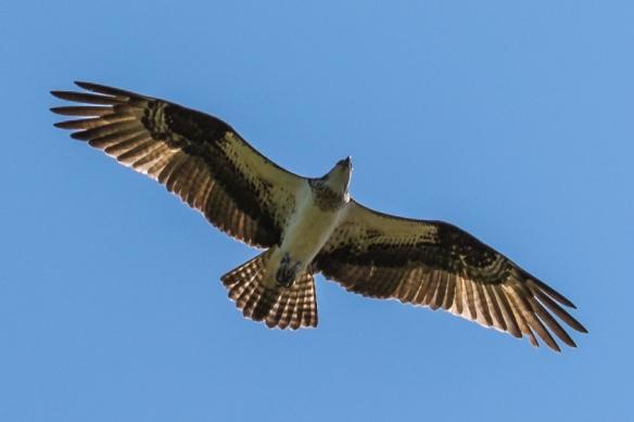 osprey-