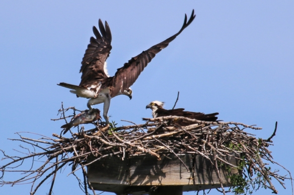 osprey-at-the-nest-
