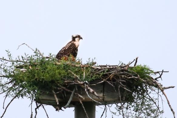 osprey chick-