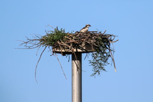 osprey chicks-