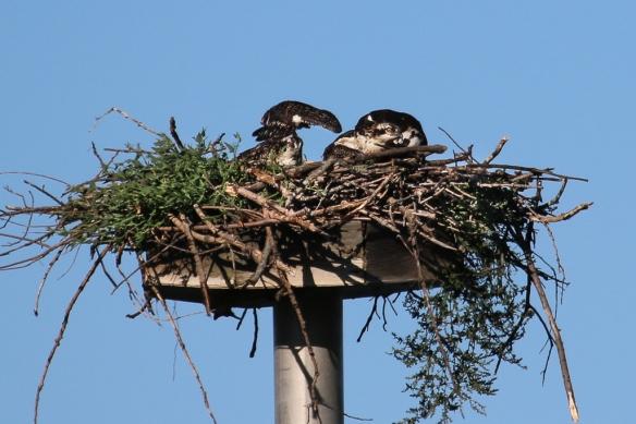 osprey chicks-