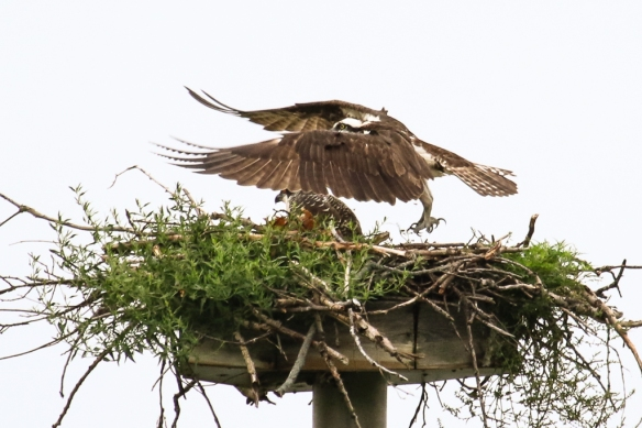 osprey nest, adult and fledgling-