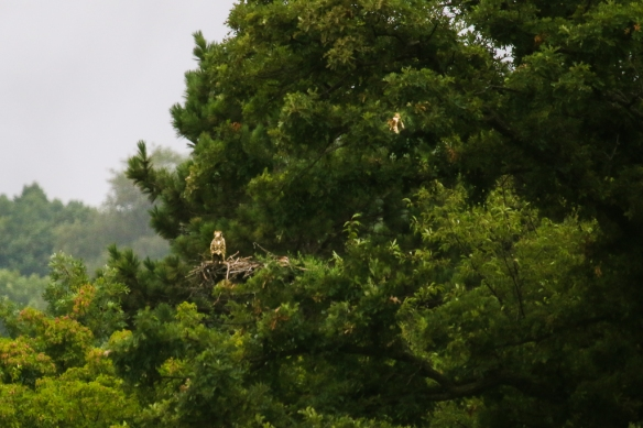 osprey nest and fledglings
