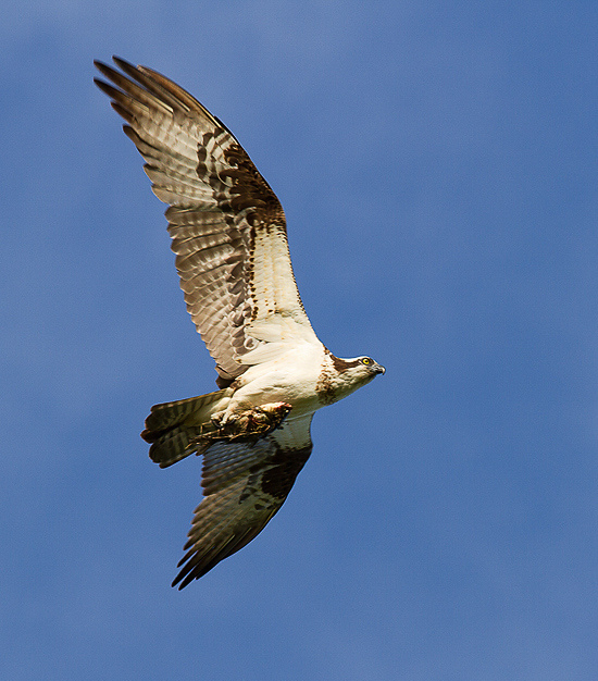 osprey with fish-