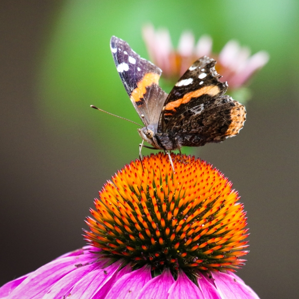 red admiral-