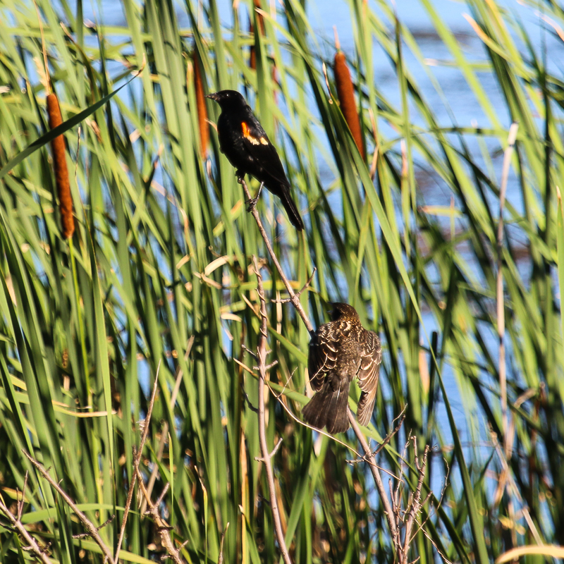red-winged blackbird male and fledgling