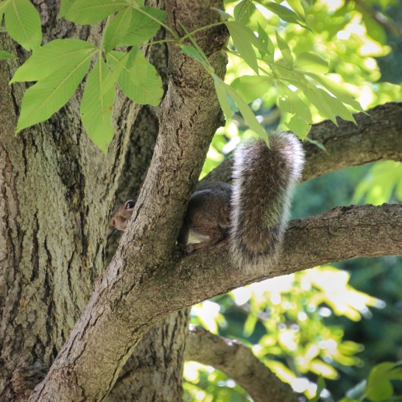 young squirrel-