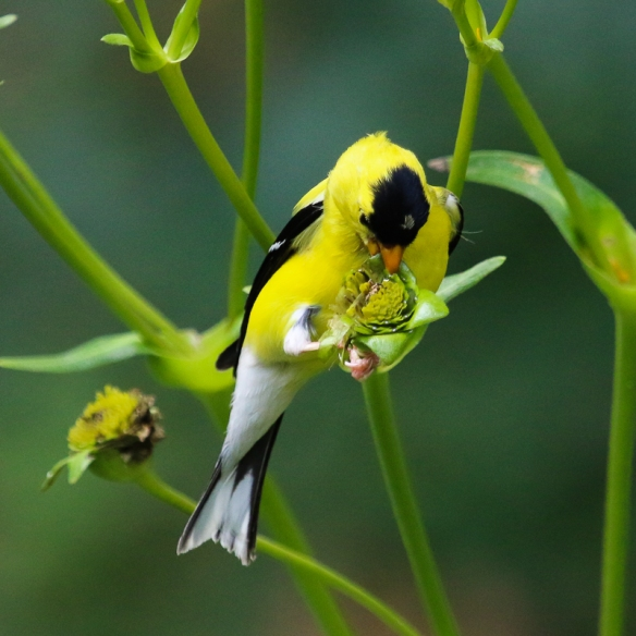 goldfinch feeding on seeds