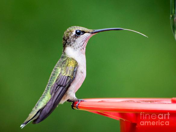 hummingbird-sticky-her-tongue-out-tj-baccari