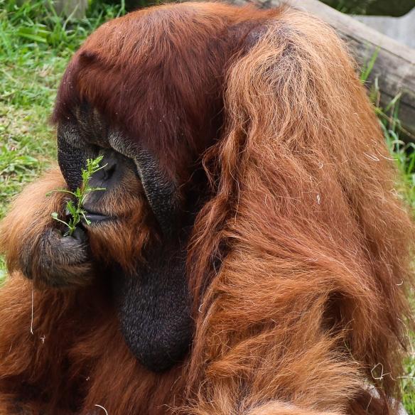 orangutan at como zoo-