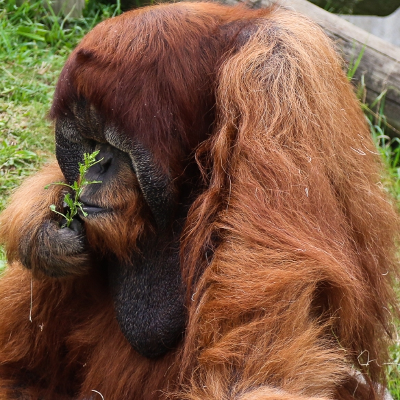 orangutan at como zoo-