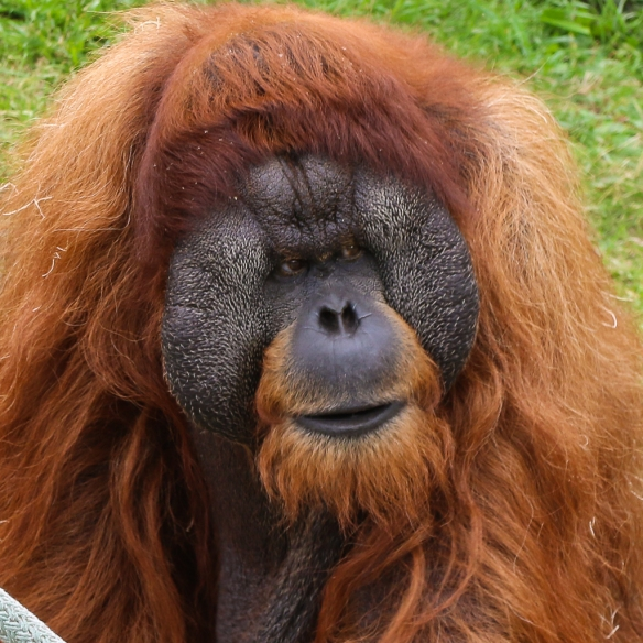 orangutan at como zoo-8982