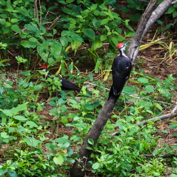 young pileated woodpeckers-