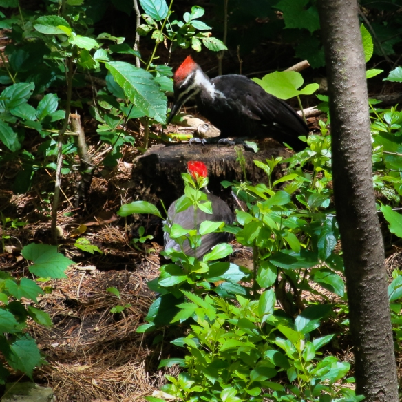 pileated woodpeckers-