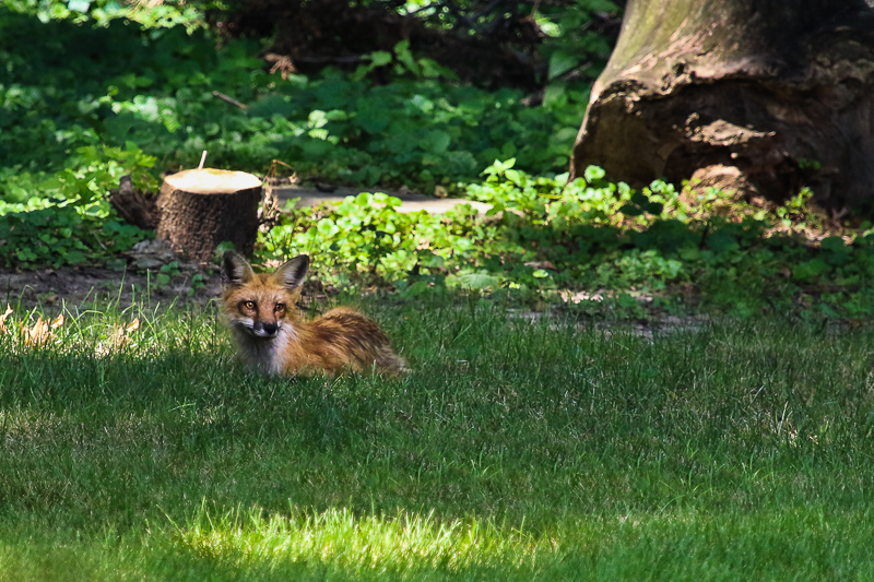 red fox kit-