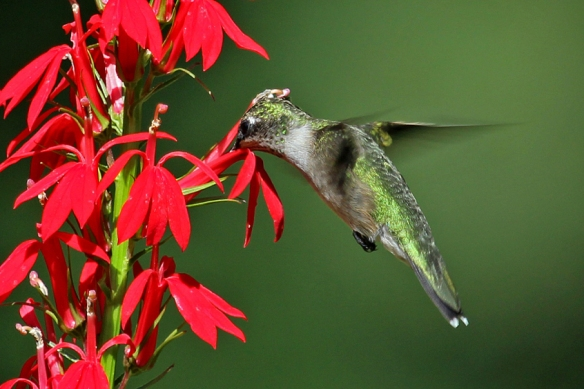 ruby-throated-hummingbird-on-cardinal-flower
