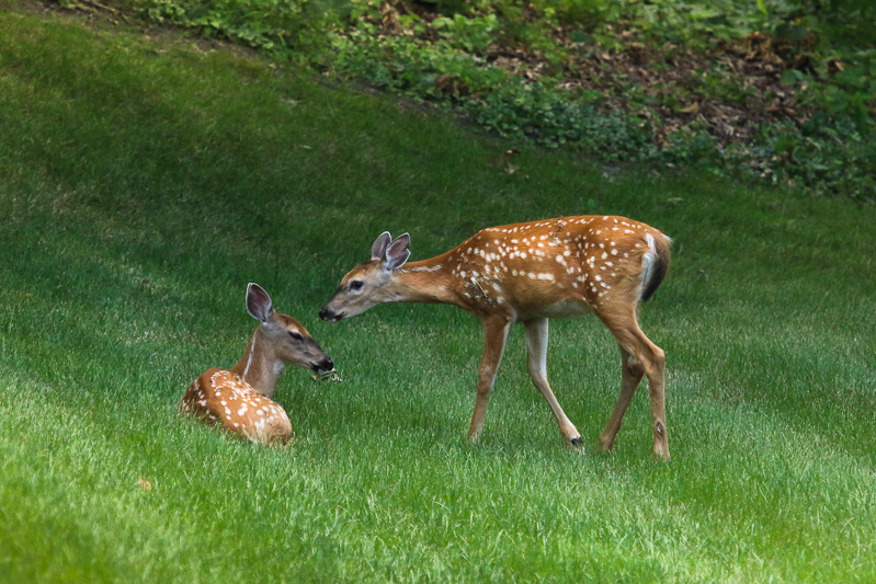 whitetail fawns-