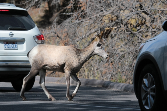 bighorn-sheep crossing a busy road in Yellowstone