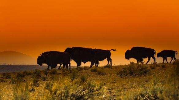 buffalo-9098.jpg