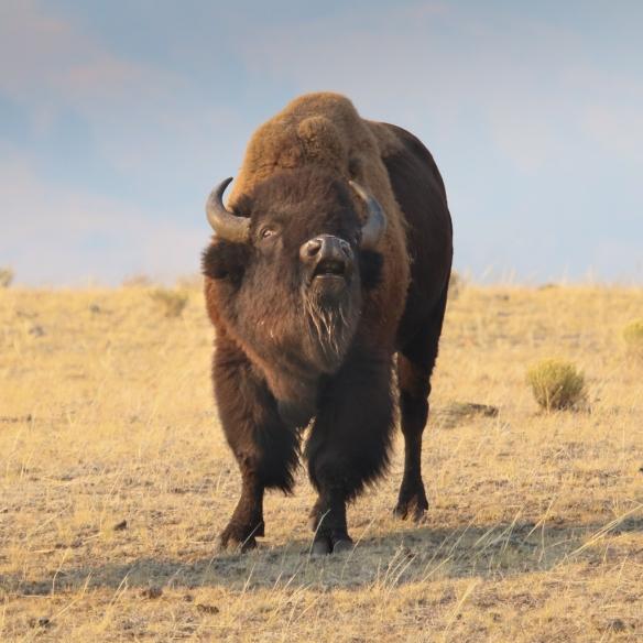 buffalo-9163