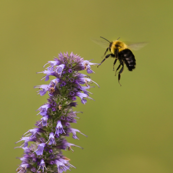 bumblebees-on-giant-hyssop