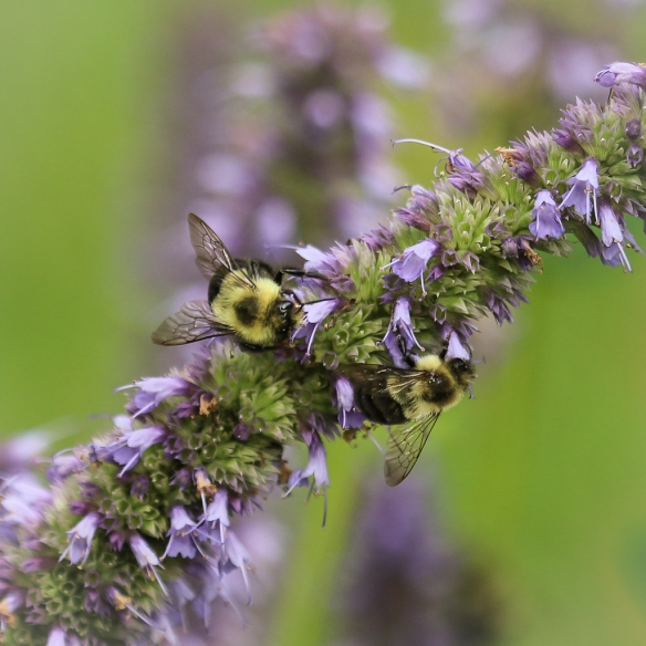 bumblebees-on-giant-hyssop-