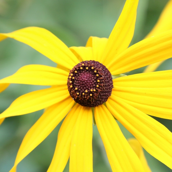 coneflower-ray-vs-disk-florets-