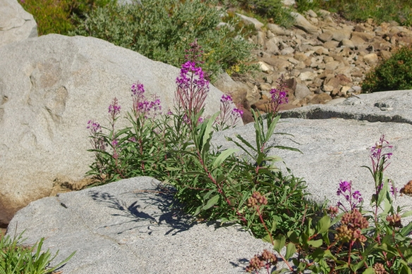 Fireweed, Desolation Wilderness