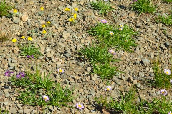 alpine garden, Dick's Pass, Desolation Wilderness, Sierra Nevada