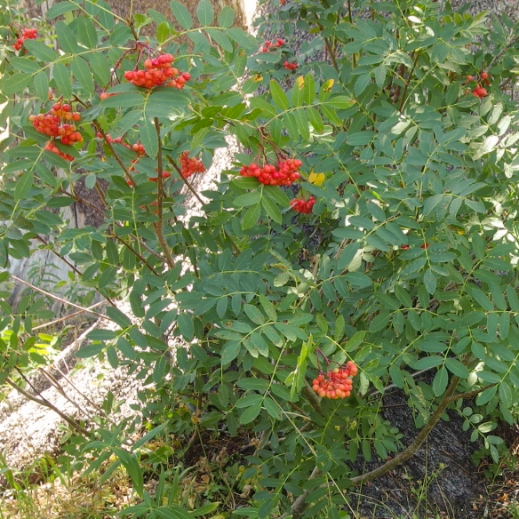 Mountain Ash berries, Desolation Wilderness