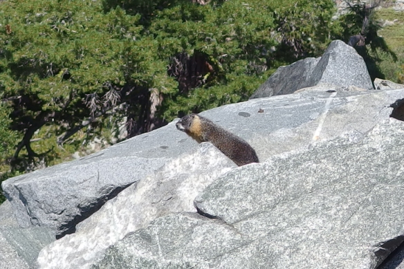 Yellow-bellied Marmot, Desolation Wilderness, Sierra Nevada