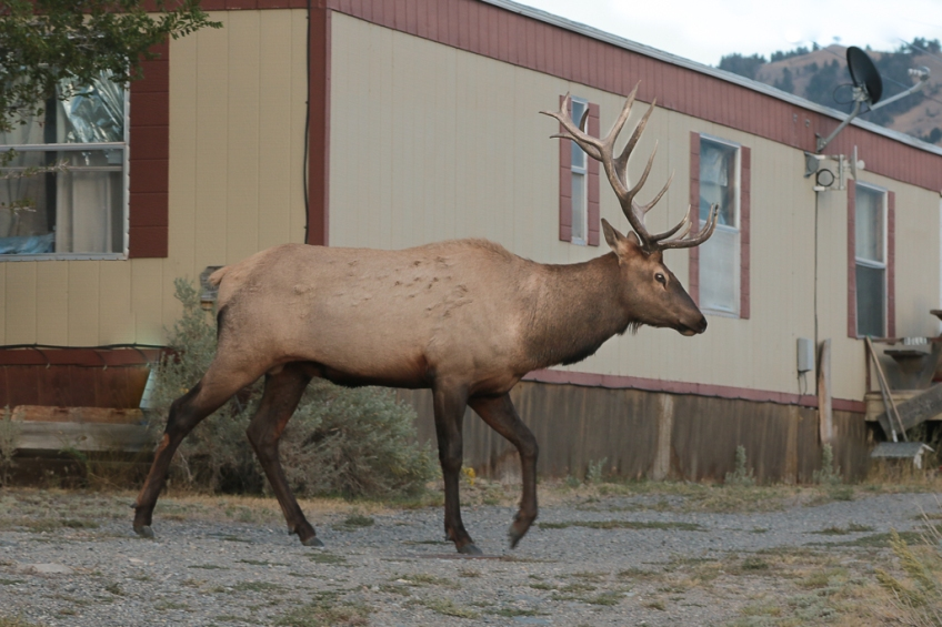 elk-gardiner-montana-