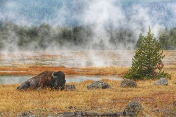 Buffalo at old Faithful geyser basin