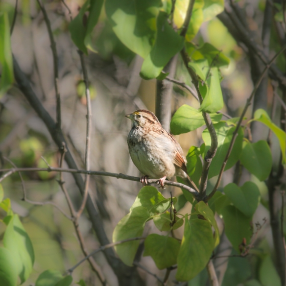 juvenile-white-throated-sparrow-