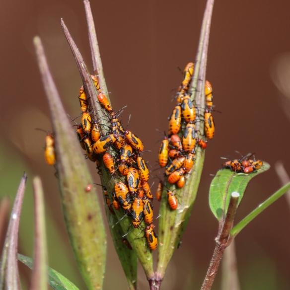 milkweed-bugs-feeding-