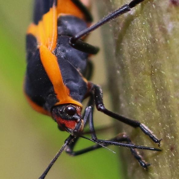 large milkweed-bug-feeding-