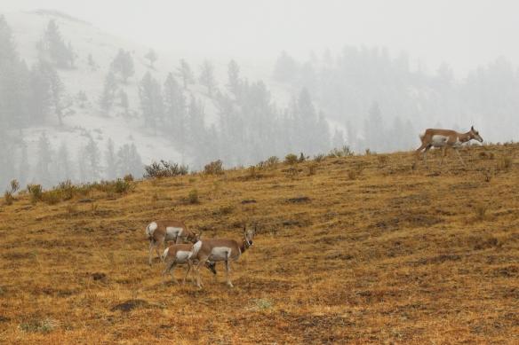 pronghorn-antelope-